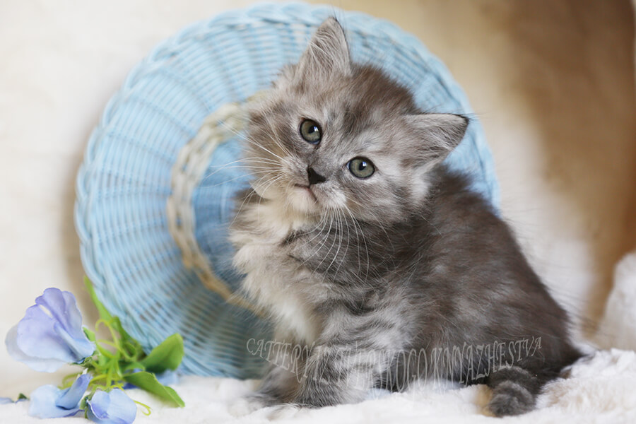 to buy a Siberian kitten color black smoke
