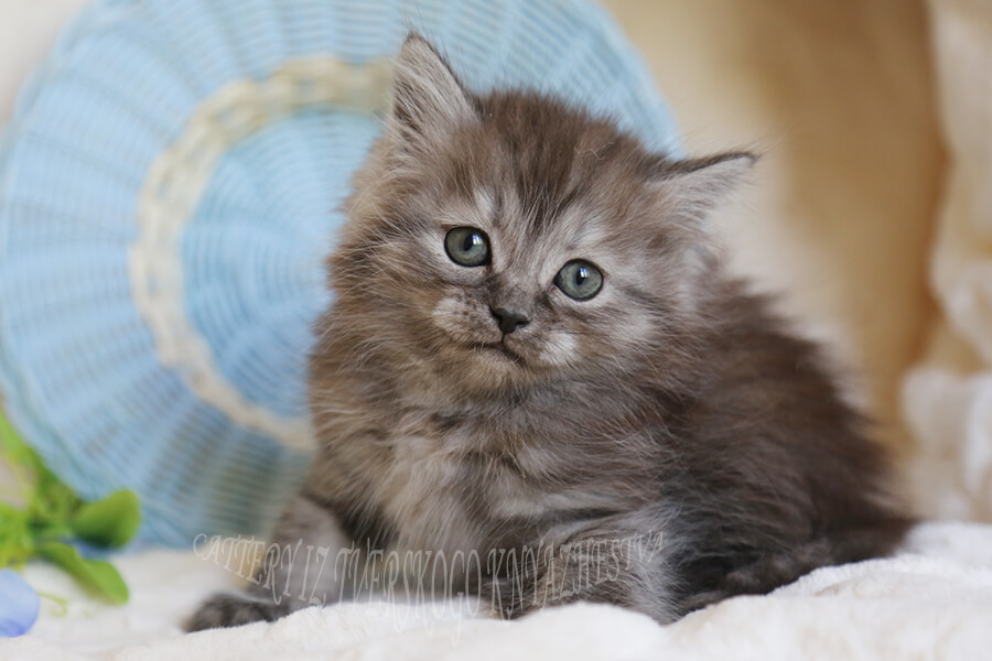 buy silver Siberian kitten
