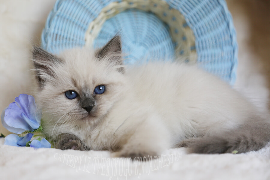 blue-eyed Neva masquerade kittens from Russia