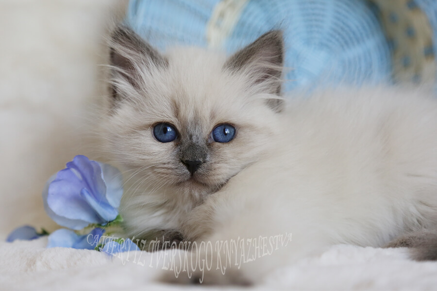 Available Neva masquerade kitten - beautiful girl with fantastic blue eyes