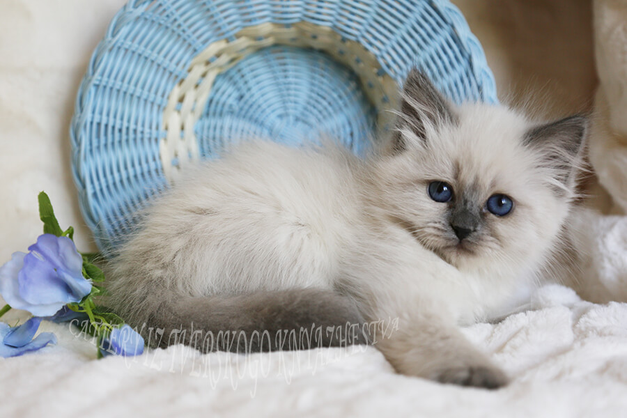Always available Siberian and Neva masquerade kittens for you