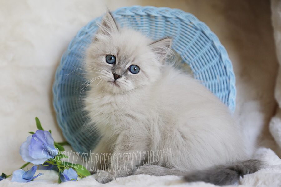 the Siberian cat is the best breed of cat