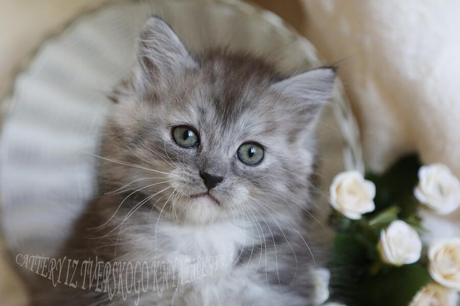 beautiful green-eyed kittens in Russia