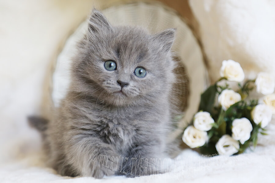 buy a Siberian kitten of traditional color