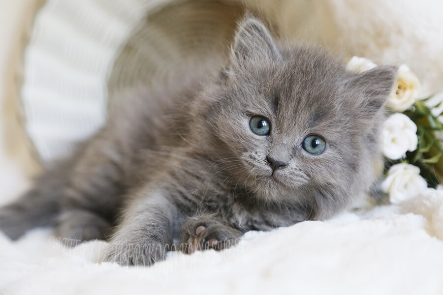 Siberian kittens of solid colors