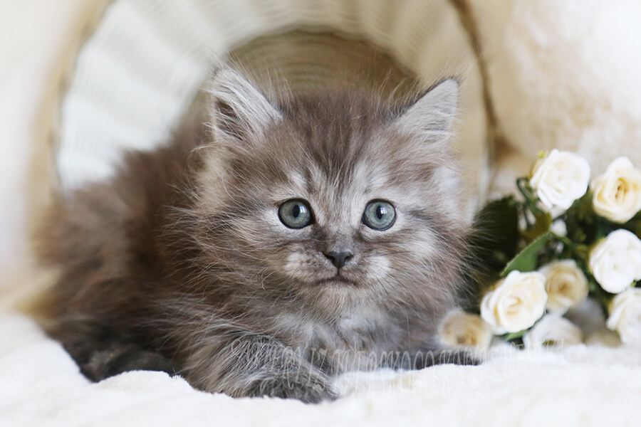 reliable delivery of Siberian kittens around the world