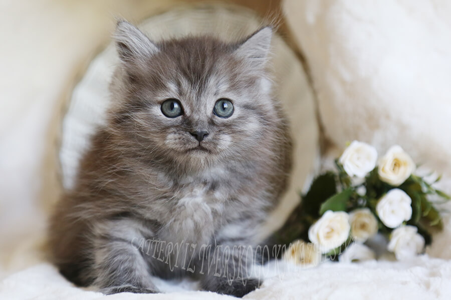 silver in the color of the Siberian cat