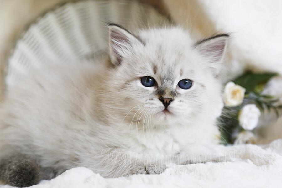 beautiful blue-eyed Neva masquerade kittens