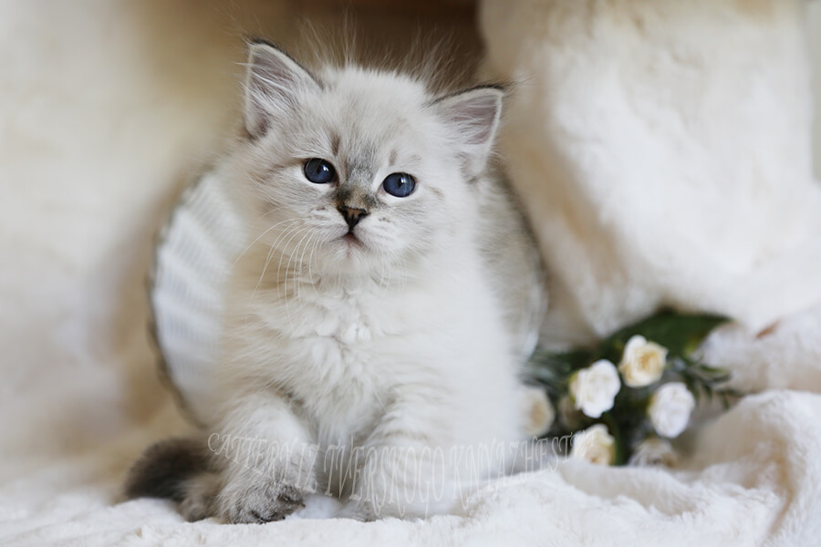 Siberian kitten of the seal tabby point color