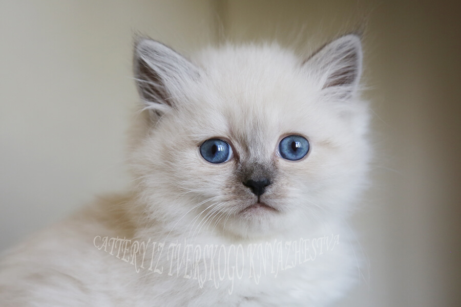 Siberian colorpoint with blue eyes