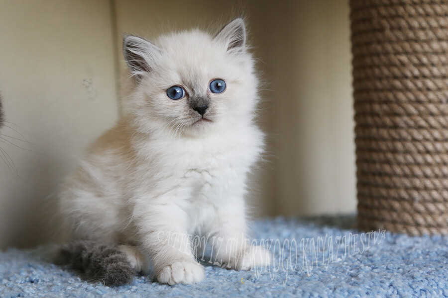 Siberian colorpoint kitten for sale - very cute blue-eyed Neva masquerade girl with sweet character