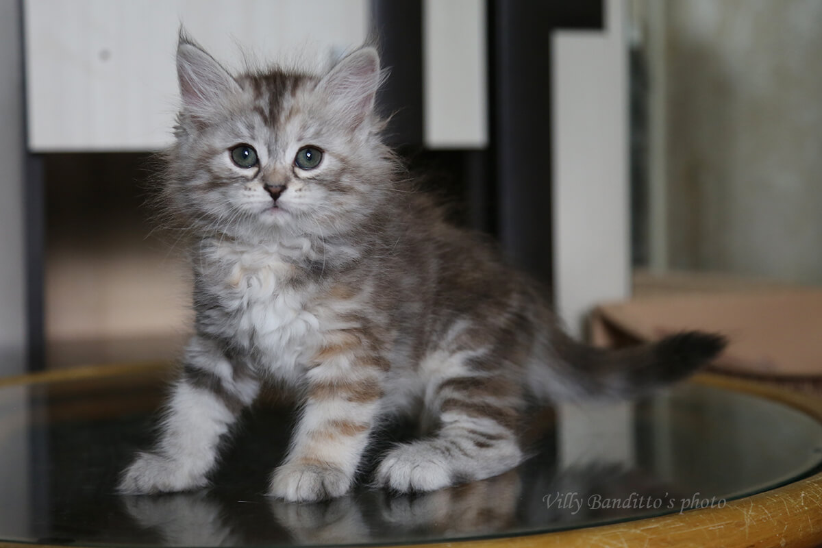 Siberian kitten for sale from cattery