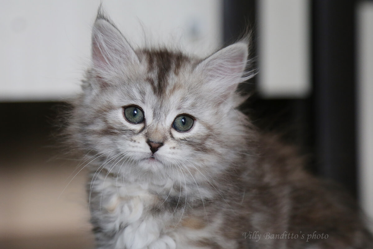 Beautiful Siberian kitten for sale, tortie girl