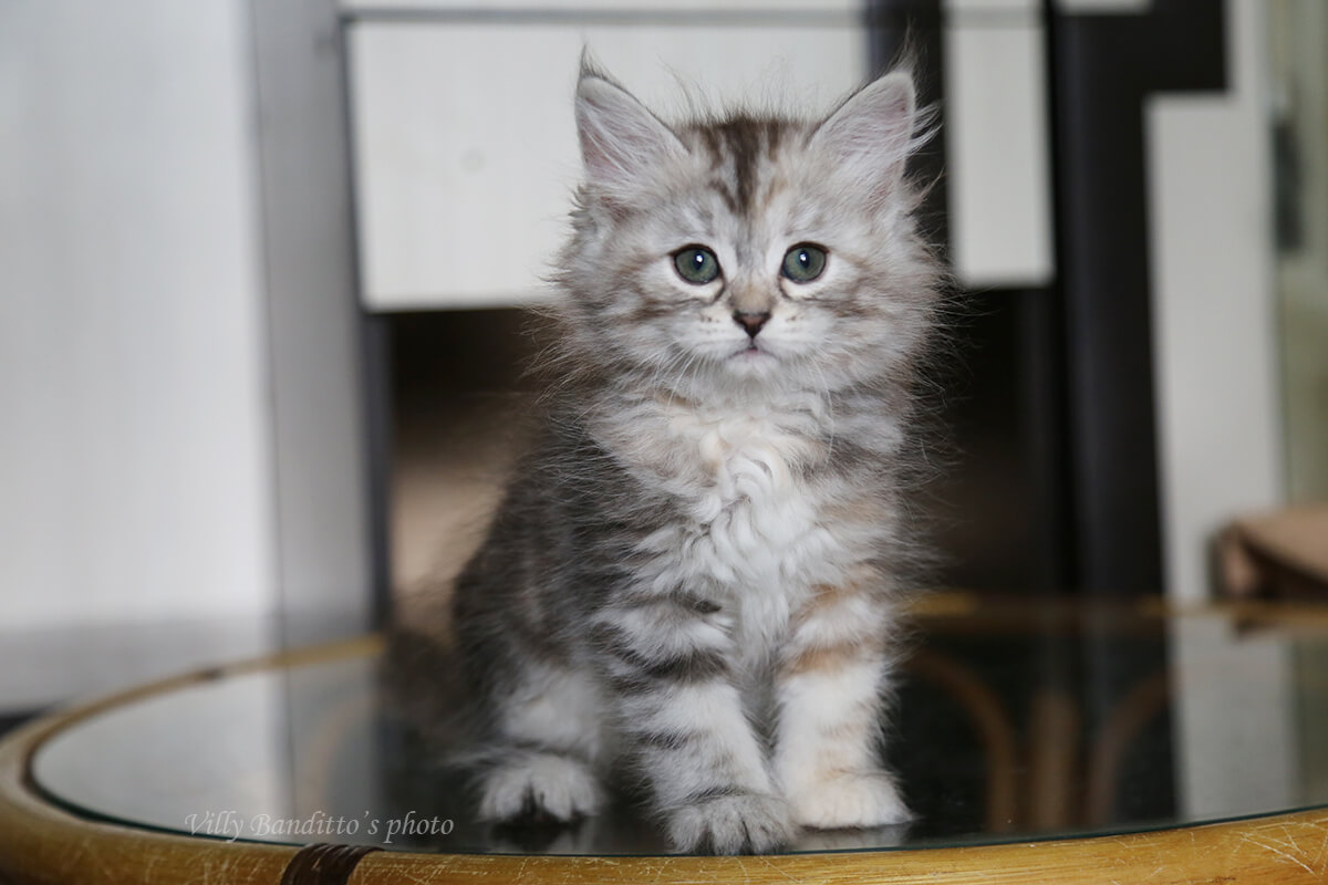 Available Siberian kitten for breeding