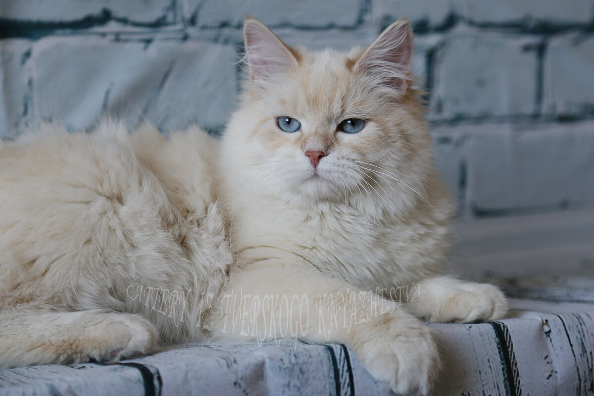 Siberian cat is the best antidepressant