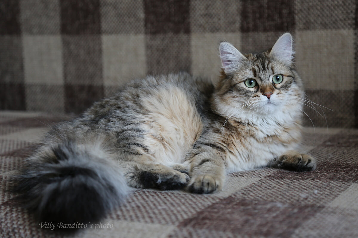 Buy a Siberian kitten for show and breeding