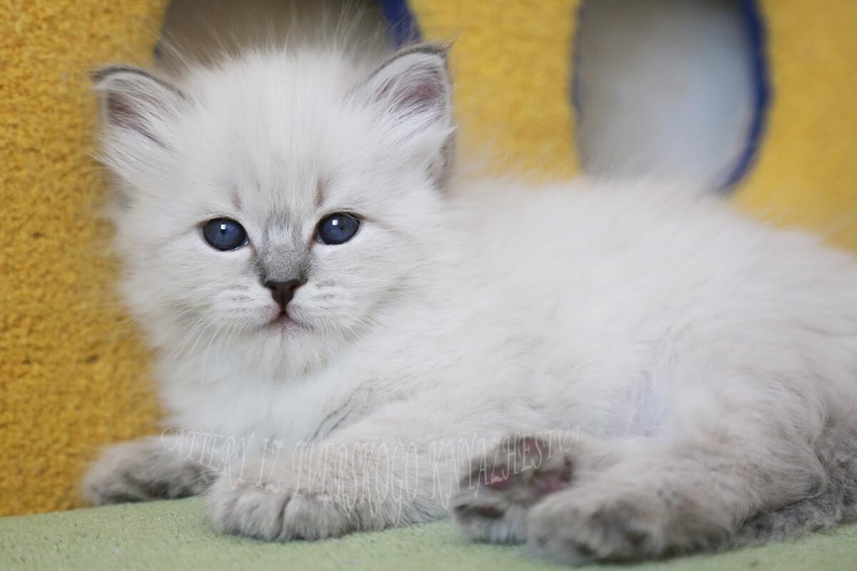 Купете сибирски Невски маскарадно коте