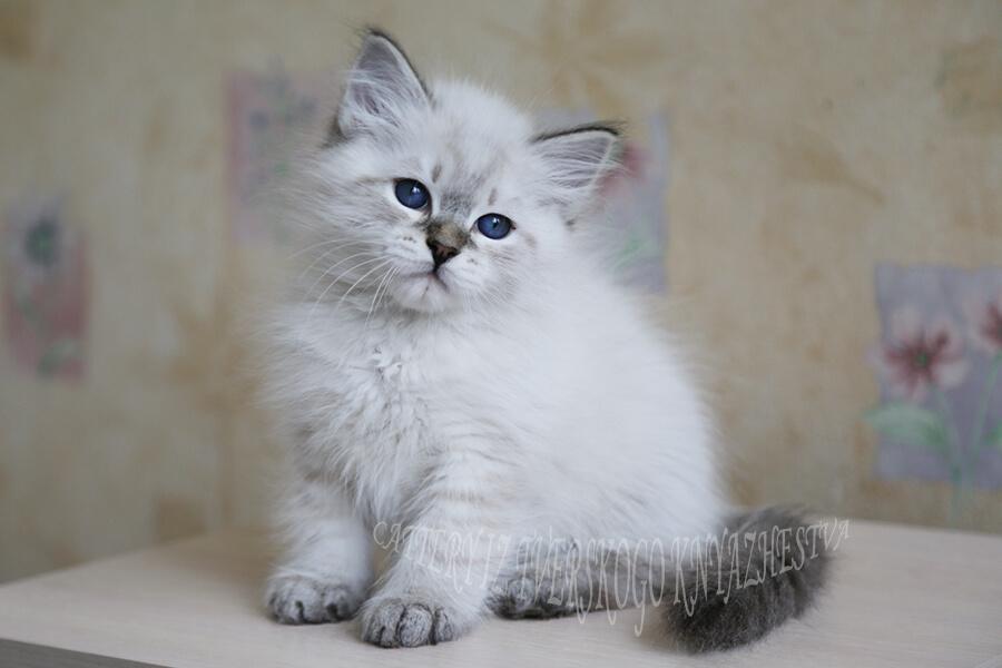 Buy Neva masquerade kitten from the Siberian cattery