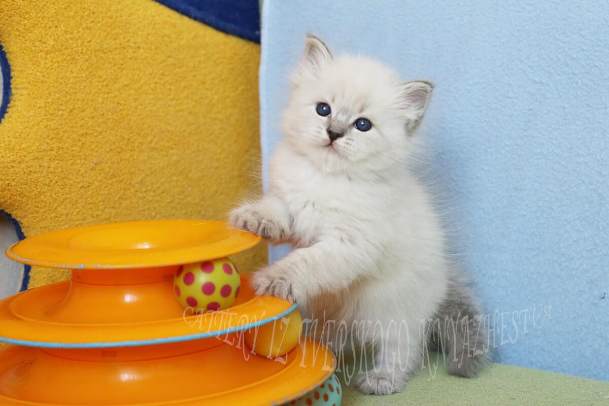 Erhältlich blau tabby point Neva maskerade Kätzchen von cattery