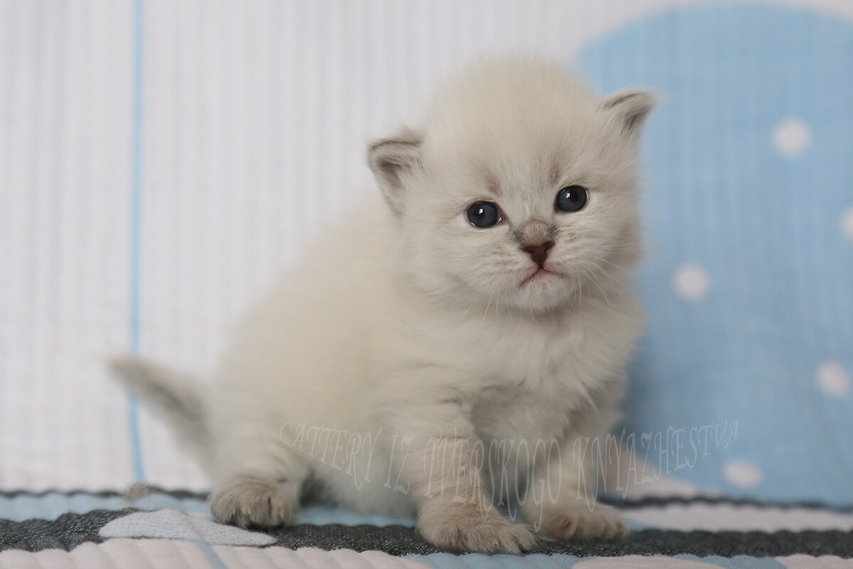 buy Siberian Neva masquerade kitten in a cattery