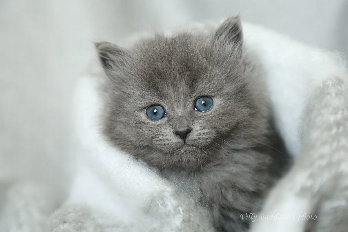 Buy Siberian traditional kitten