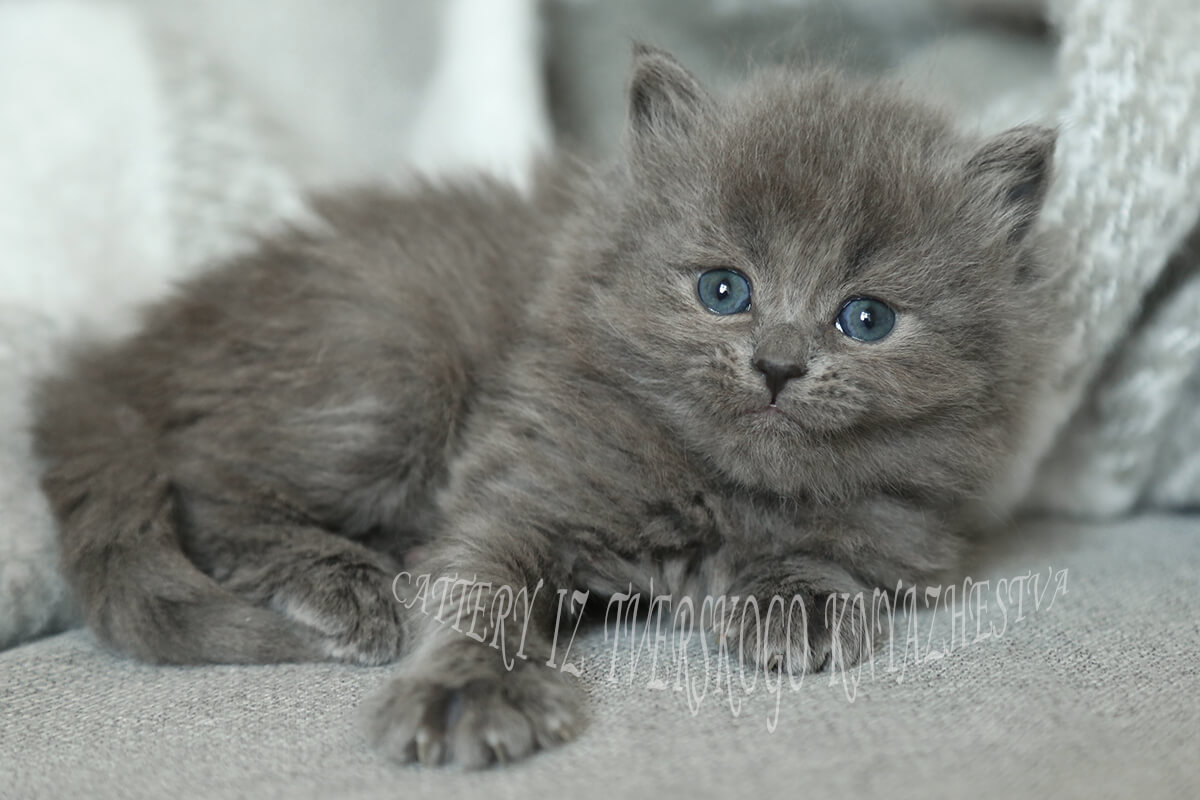 Strong and powerful blue solid Siberian kitten for sale
