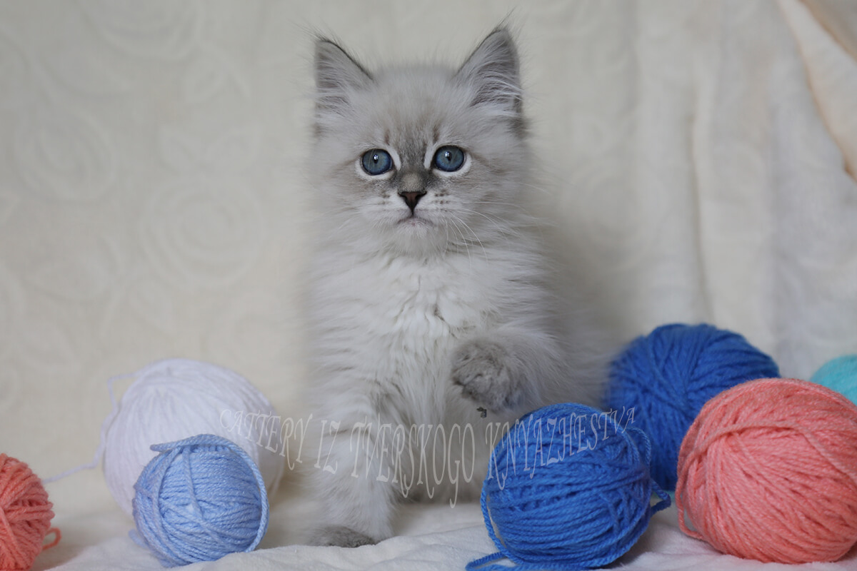 Seal tabby point Neva masquerade kitten for sale - charismaric Siberian young lady, affectionate and communicative
