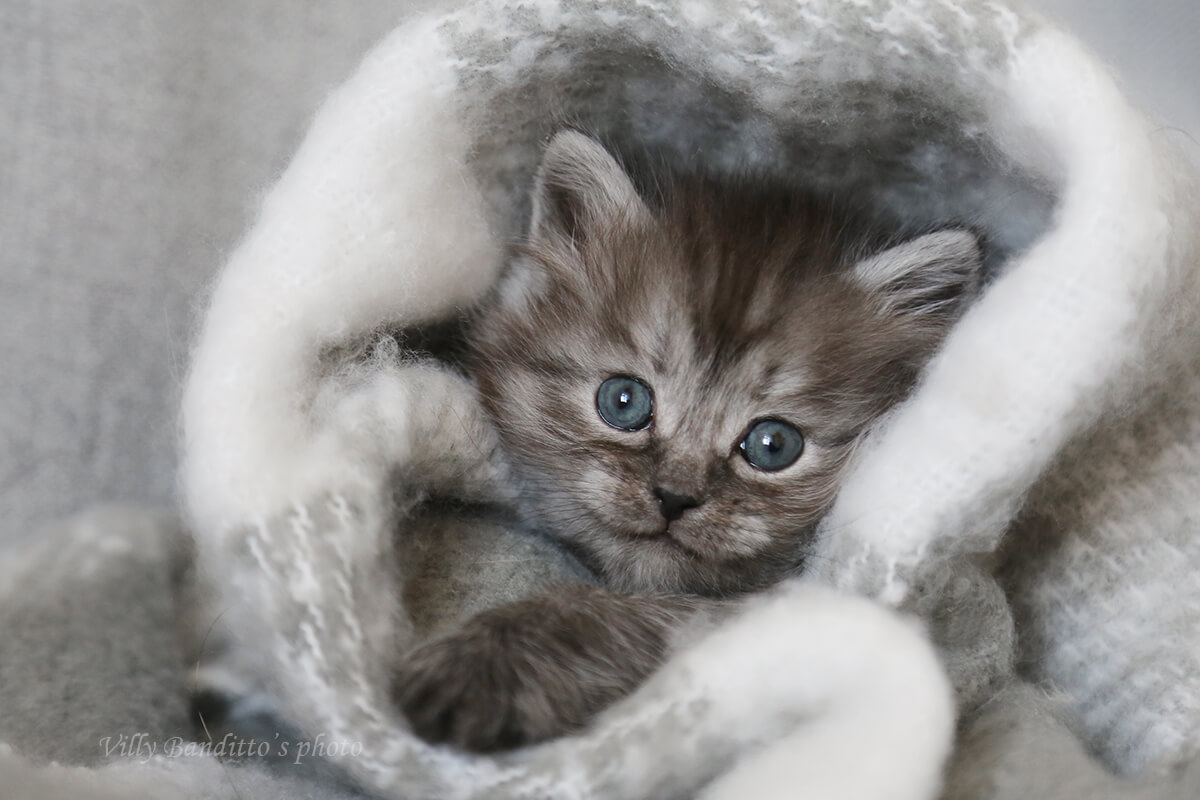 Available Siberian kitten from Siberian cattery in Russia