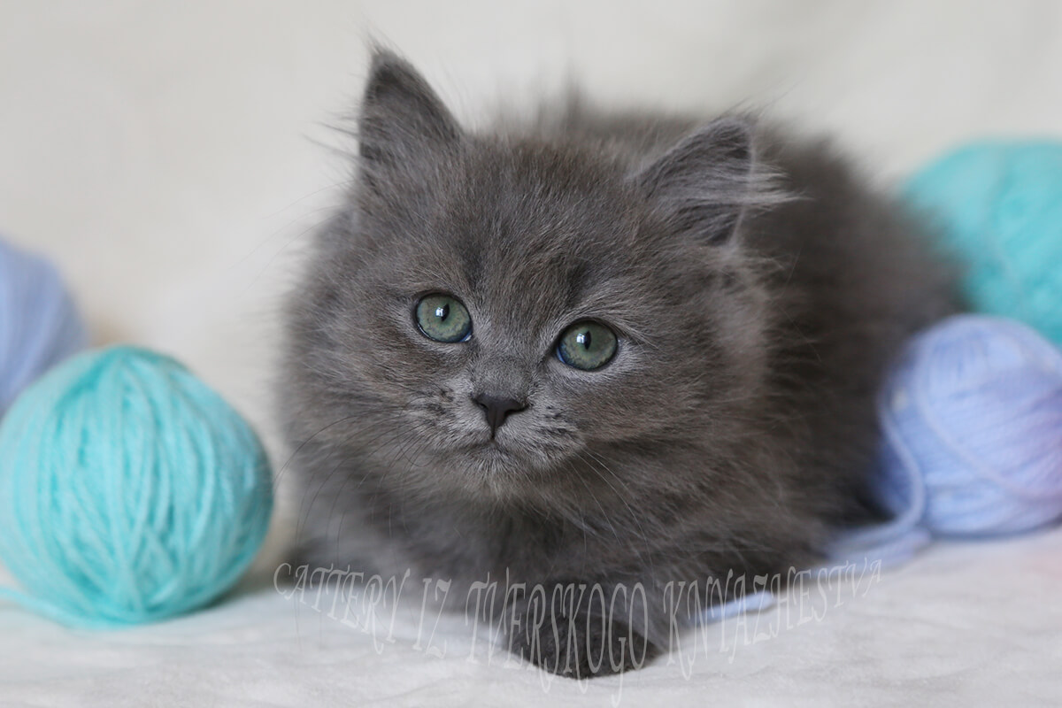 Siberian kitten for you