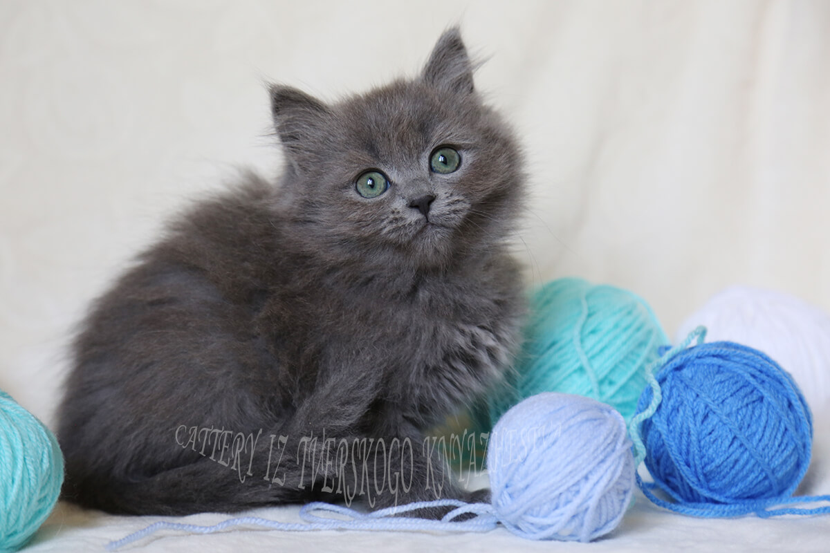 Siberian kitten from a cattery in Russia. Blue solid young lady with very beautiful Green color of eyes
