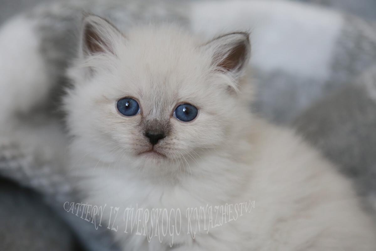 smoky Neva masquerade kittens