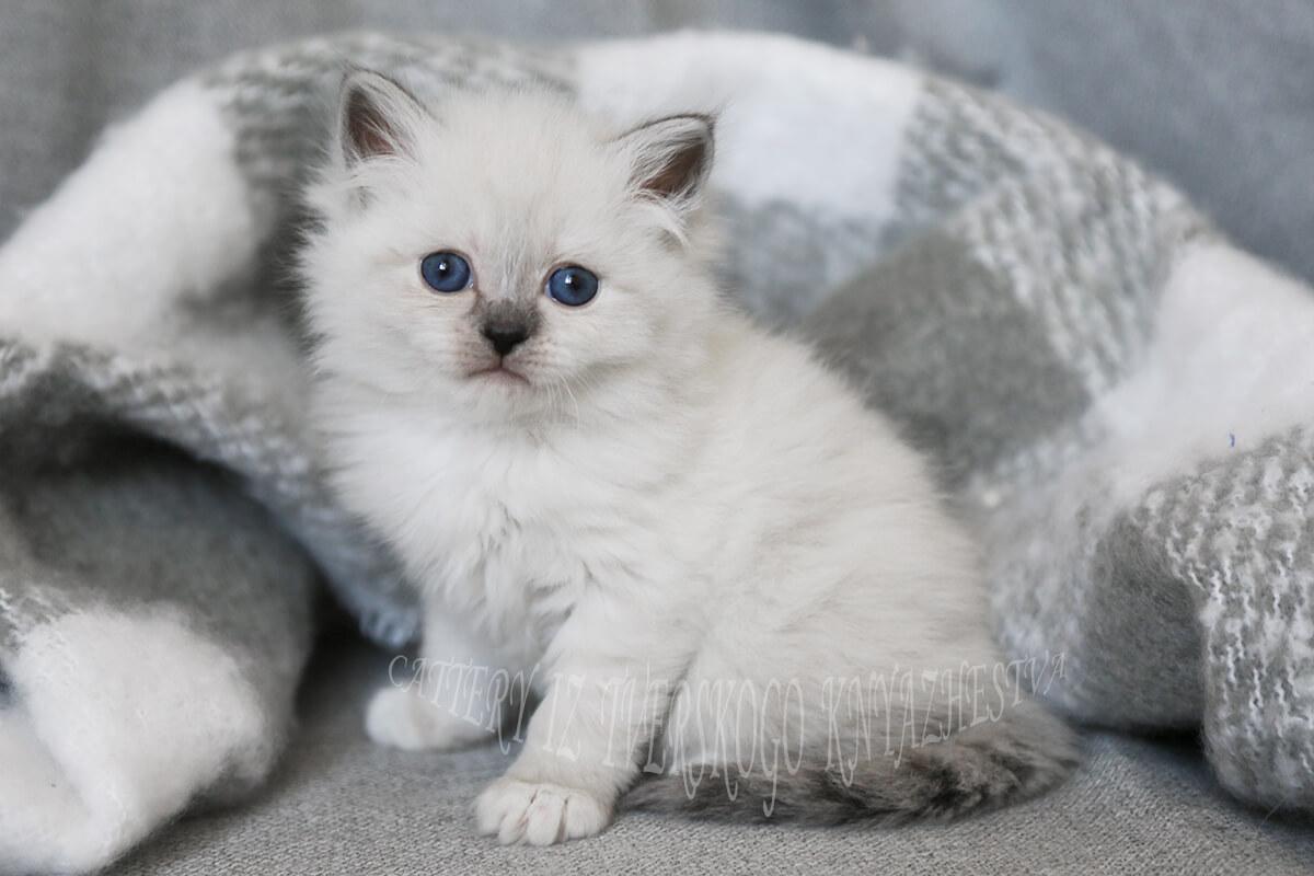 Rare smoke Neva masquerade kitten for sale
