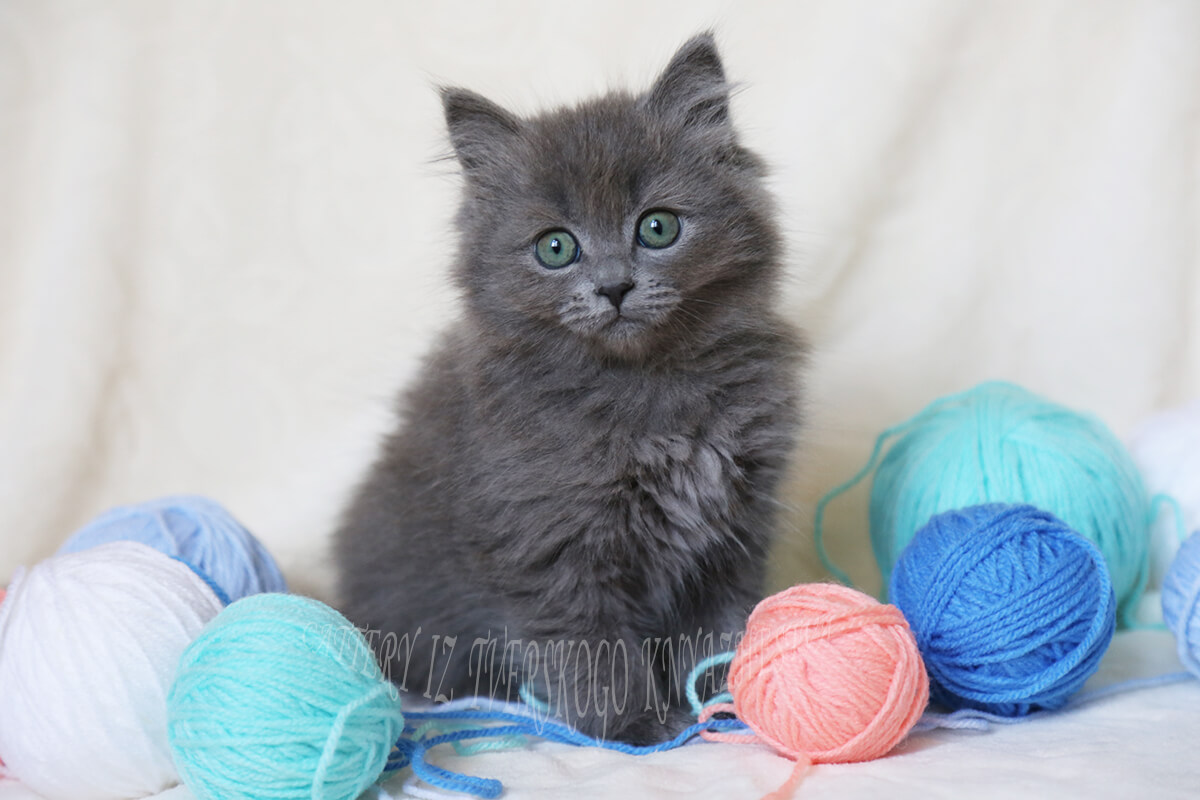 Available Siberian kitten for sale - blue solid color with amazing green eyes