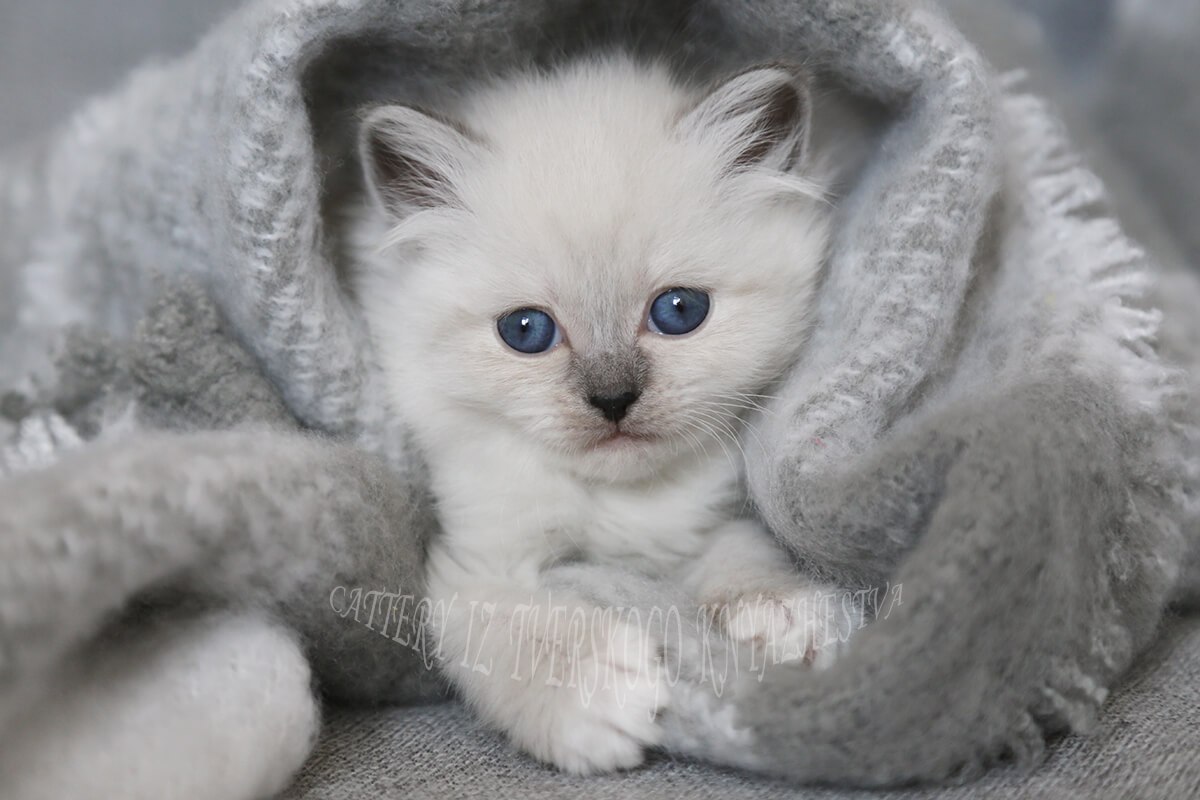 buy a blue-eyed kitten