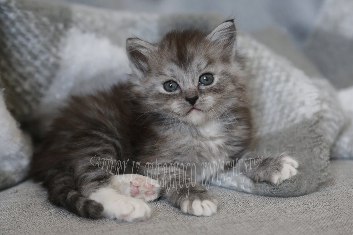 buy a Siberian kitten with a rare color