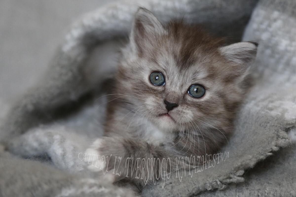 Siberian hypoallergenic cat