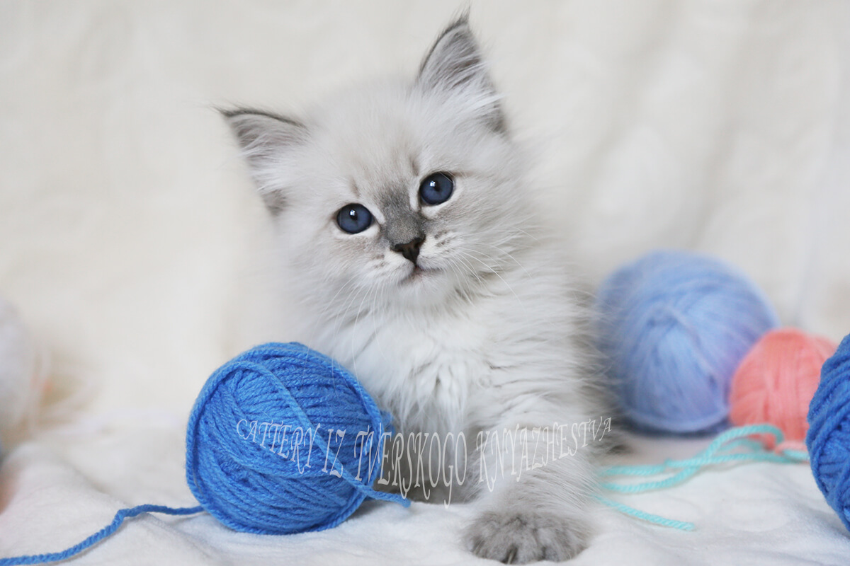 Neva masquerade kitten for breeding and show - amazing blue-eyed girl with friendly character