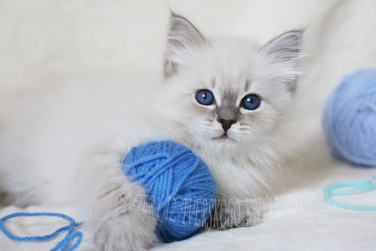 Beautiful Siberian kitten for sale - blue tabby point Neva masquerade girl with excellent texture of coat and fantastic eye color.