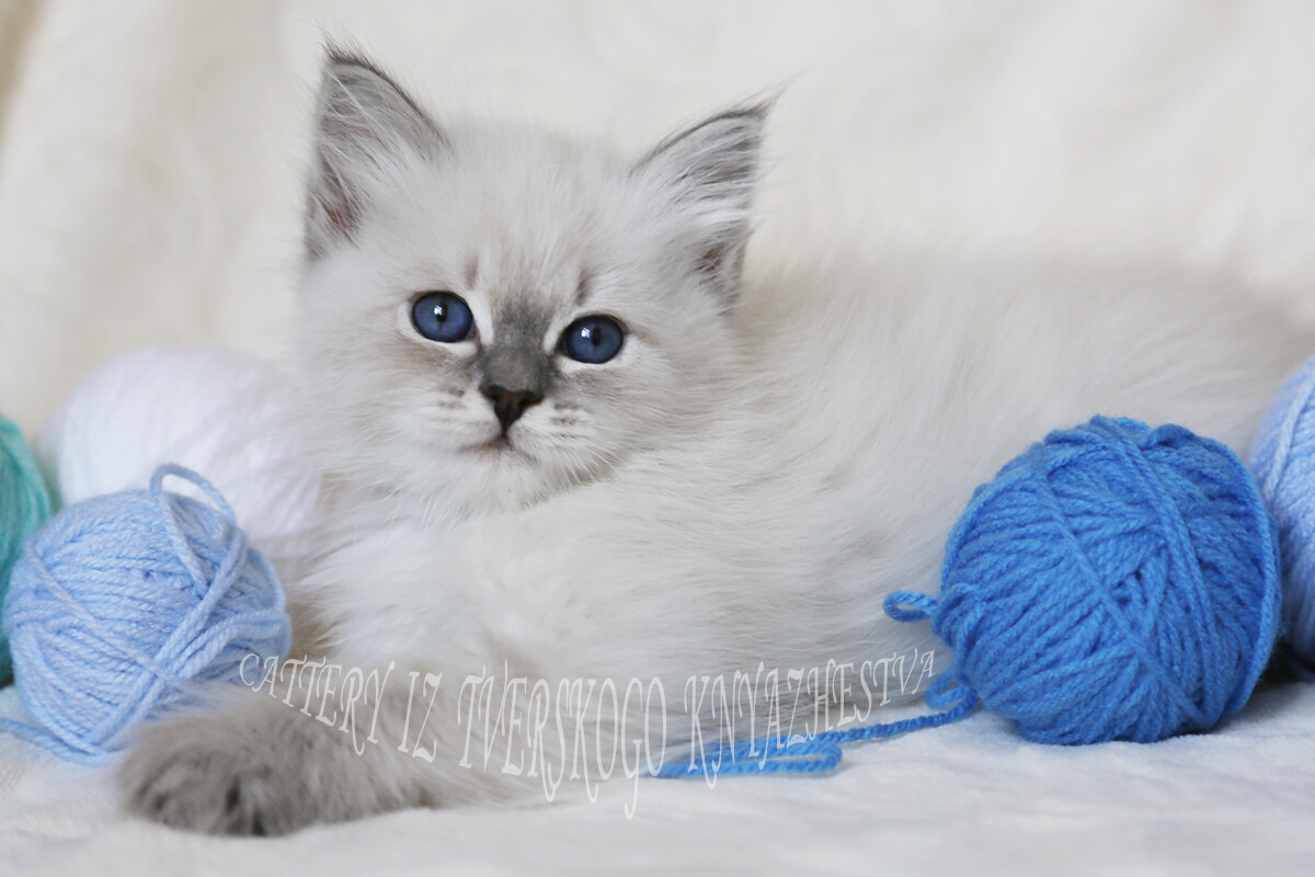 Available Siberian kitten for breeding - Neva masquerade girl with fantastic blue eye color and fantastic texture of coat
