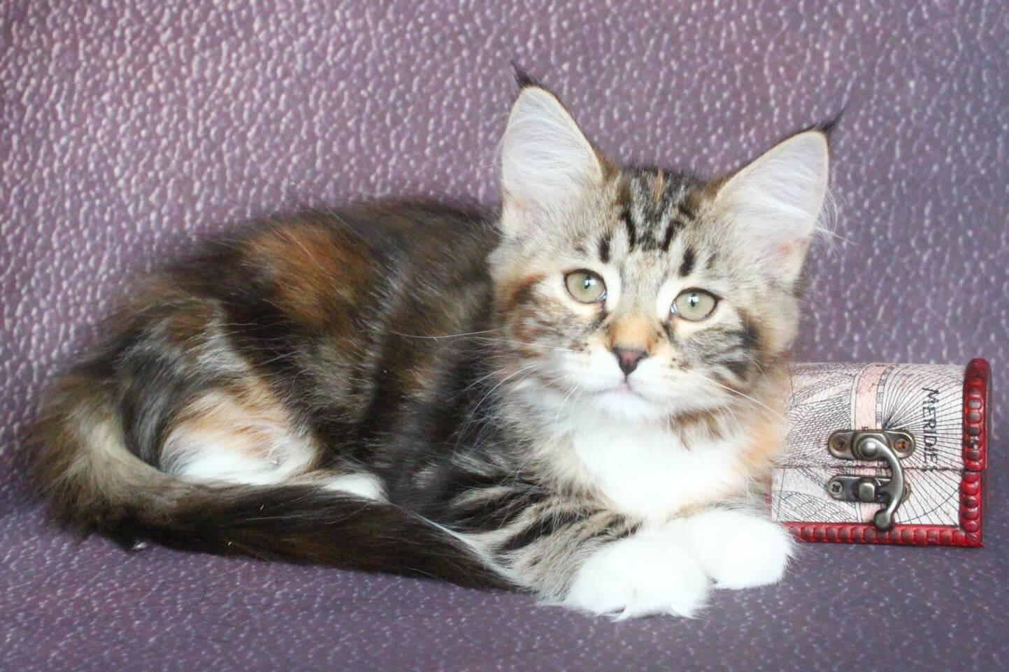 Siberian traditionnal kitten for sale