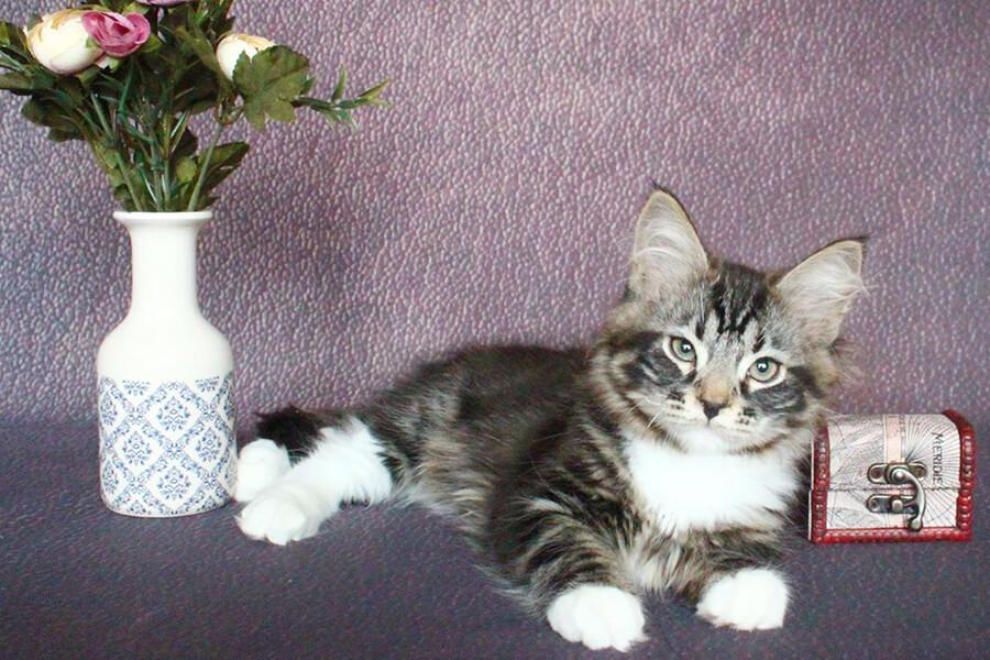 You can buy a beautiful Siberian kitten from Russia