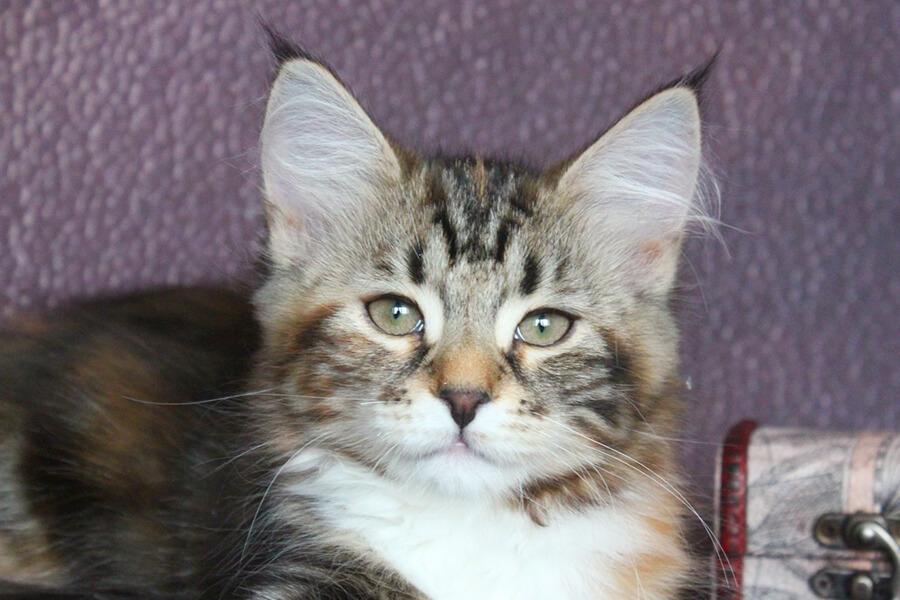 Buy Siberian kitten free from color point gene