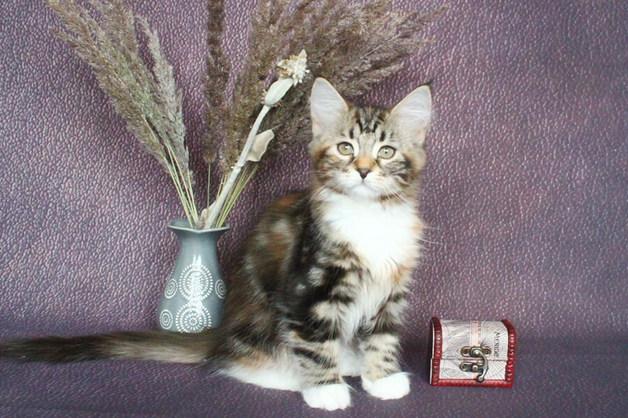 Available for sale kitten from Litter