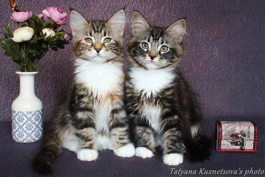 Available Siberian kittens from a Siberian cattery