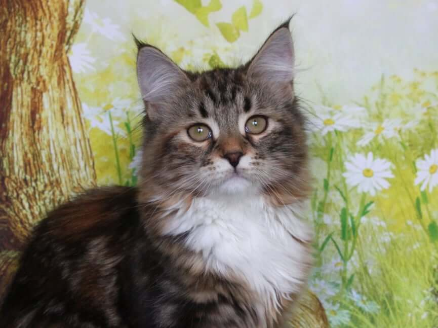 Siberian kitten of traditional color free from the color gene