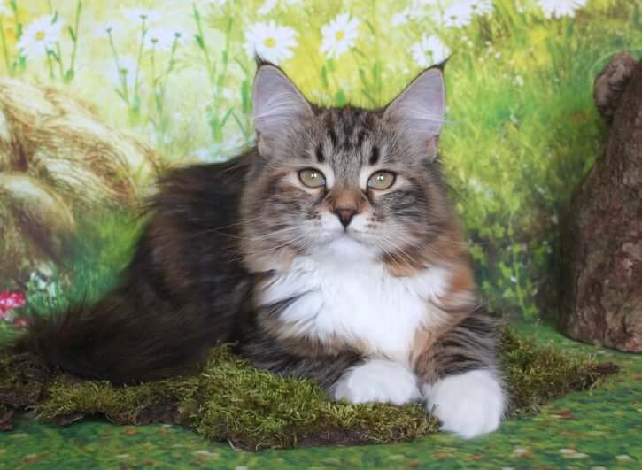 buy a Siberian kitten of traditional color from a cattery