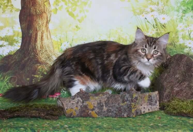 Siberian tortoiseshell cat