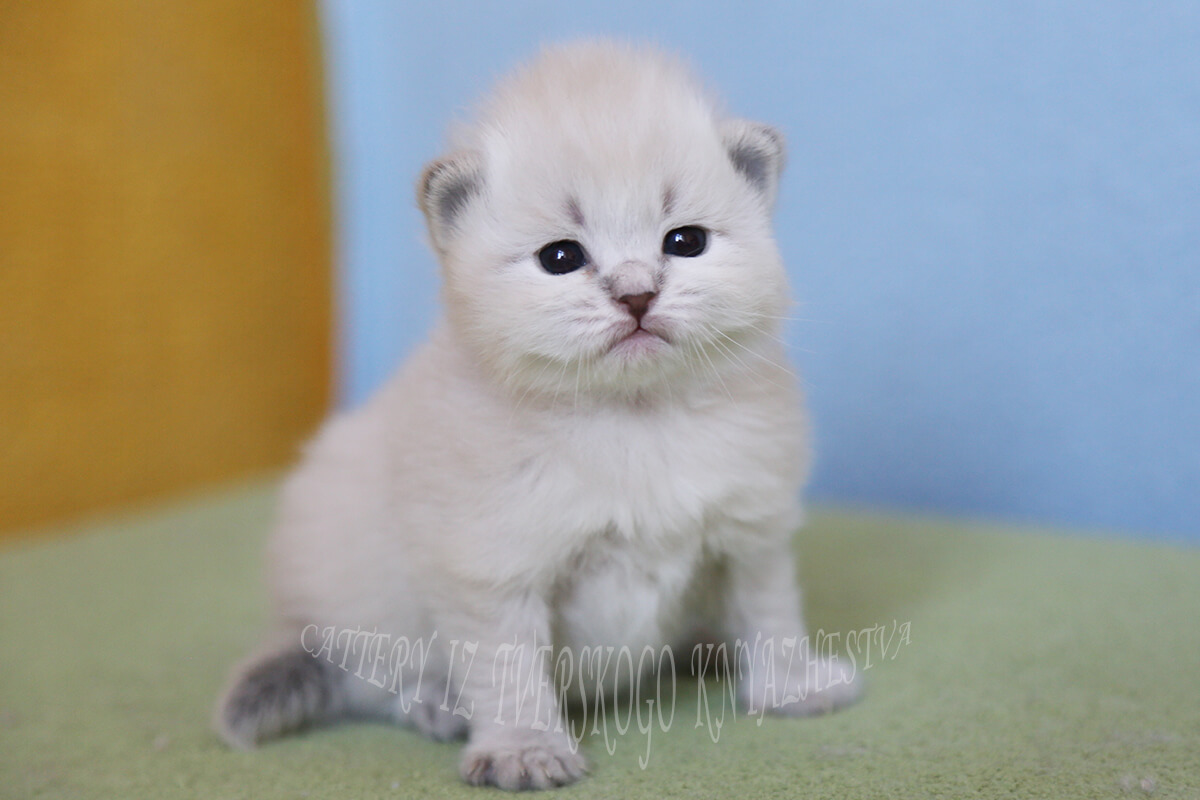 Siberian colorpoint kitten for you