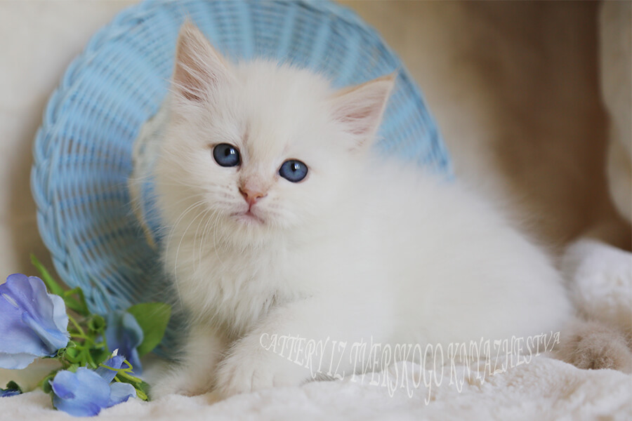 Available Neva masquerade Siberian kitten with red ears and fantastic blue eyes