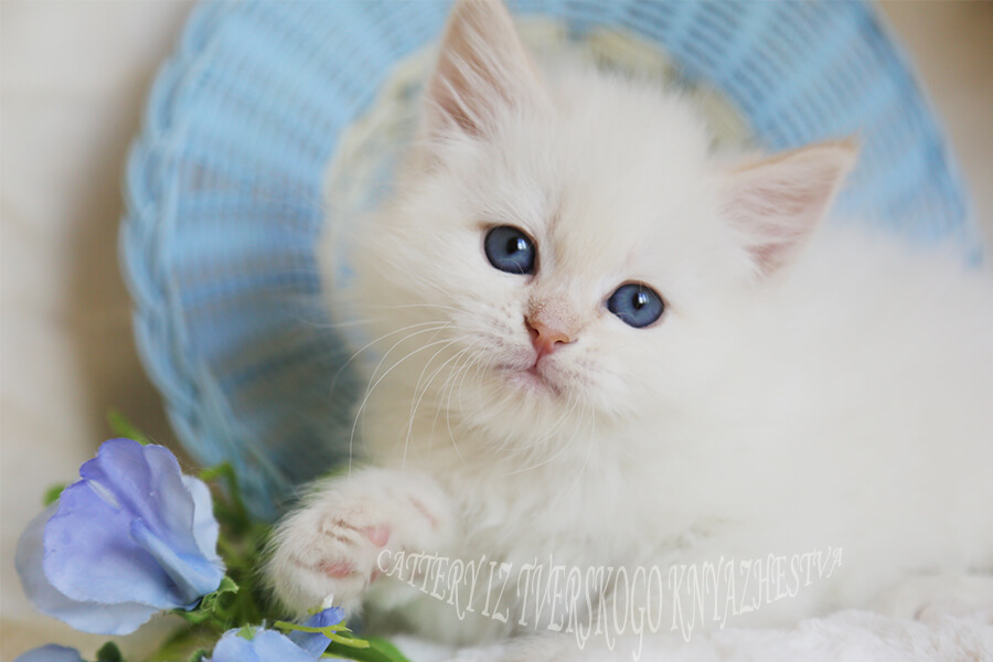 Buy Neva masquerade kitten with blue eyes and red muzzle